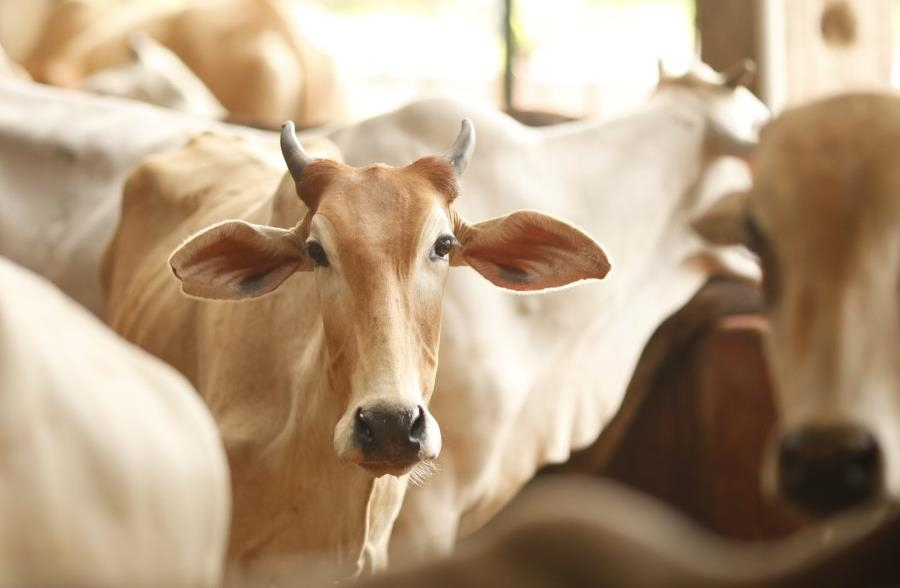 What Kerala Congress Did By Butchering The Calf So Did The Judiciary?